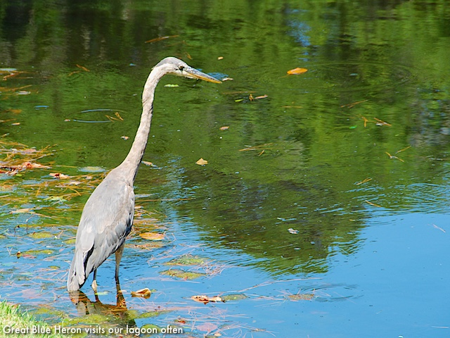 24 Red Maple - Great Blue Heron
